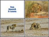 Namibia Sua Maestà il Leone